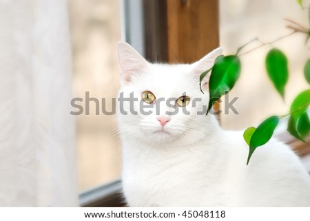 Super White Cat By Window in Home