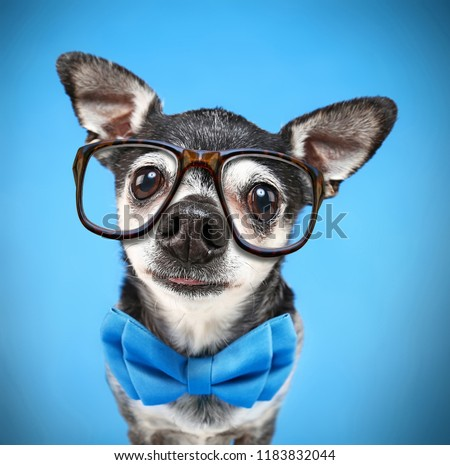 super wide angle fish eye of a cute chihuahua with a bow tie and reading glasses on isolated on a blue background