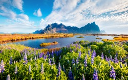 Superb morning scene of Stokksnes cape with Vestrahorn (Batman Mountain) on background. Spectacular  summer scene of Iceland with field of blooming lupine flowers. Beauty of nature concept background.
