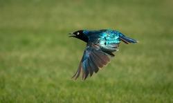 superb starling bird in flight