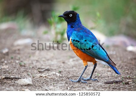 Starling Bird Symbolism Superb Starling Bird in