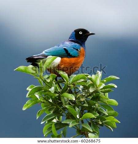SUPERB STARLING.The orange-blue bird sits on a green branch on brightly dark blue background.