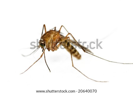 Supermacro of Mosquito isolated on white.