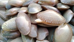 Surf clam, Short necked clam, Carpet clam,Venus shell fresh clam for cooking food.