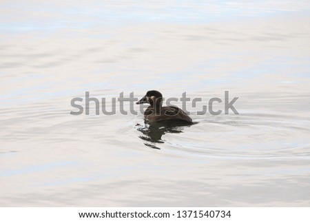 Surf Scoter (female) #1371540734