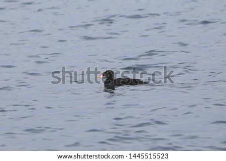 Surf Scoter (male) (melanitta perspicillata)