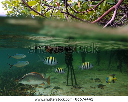 Surface and underwater view in the mangrove with tropical fish, Caribbean sea