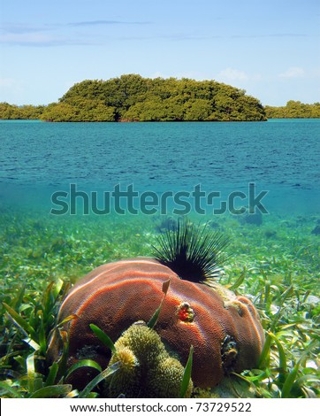 Surface and underwater view of a mangrove island with seagrass seafloor and coral with urchin, Caribbean sea, Panama