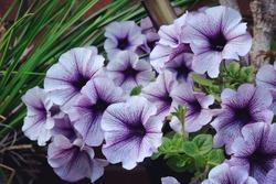 Surfinia Purple Vein petunia flowers in bloom
