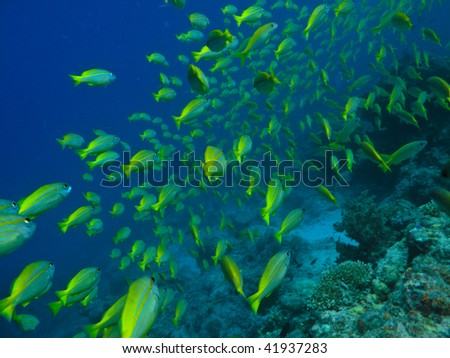 Surgeon Fish at Great Barrier Reef Australia