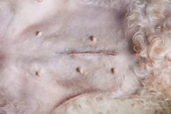 Surgery stitches on dog stomach close up
