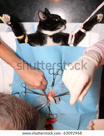 surgical castration of cat