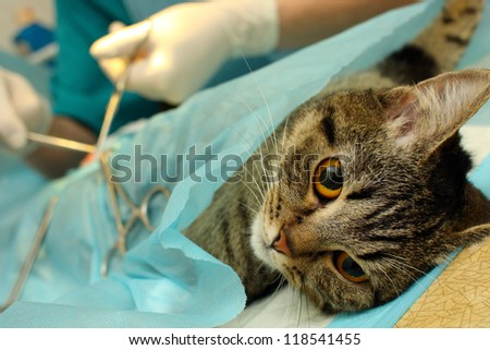 Surgical sterilization of cat in banian hospital