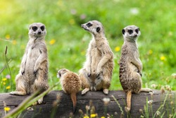 Suricata Suricatta Meerkat Animals Family Sitting on Log