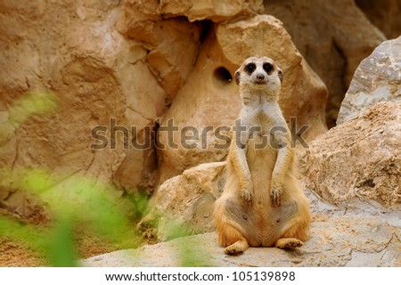 Suricate meerkat standing up (Suricata suricatta)