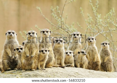 Suricate or meerkat (Suricata suricatta) family Earth males looking for enemies