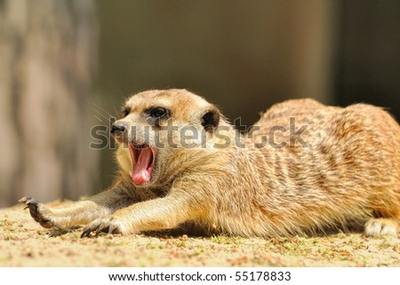 Suricate or meerkat (Suricata suricatta) family Earth males stretches himself and yawns
