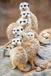 Suricate or meerkat (Suricata suricatta) Family photos of the cute creature