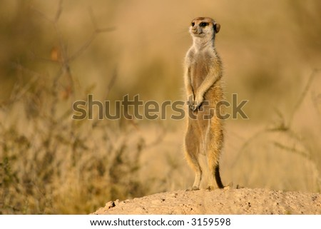 Suricate or meerkat (Suricata suricatta) standing on guard, Kalahari, South Africa