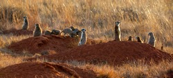 Suricate panorama, photographed in South Africa.