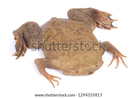 Surinam toad (Pipa pipa) #1294335817