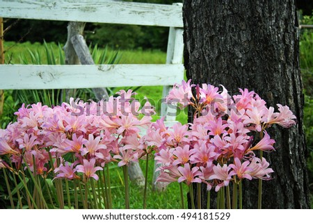 Surprise lilies by the fence