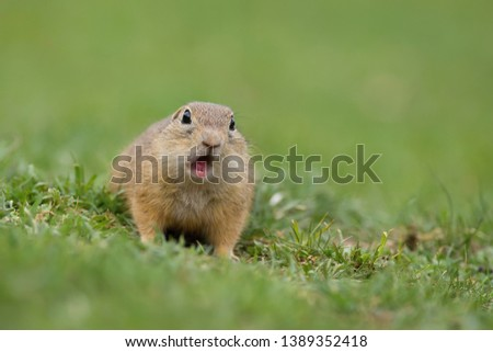 Surprised and stunned European ground squirrel, Spermophilus citellus, with light brown fur with open mouth showing two teeth facing photographer on meadow