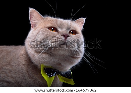 Surprised British cat with bow-tie