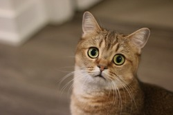 Surprised cat looking at the camera. Golden shaded British short-hair purebred male cat. Hazel eyes. Indoors.