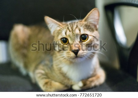 Surprised cat looking at the camera. Golden shaded British short-hair purebred male cat tired of office work. Hazel eyes. In office.