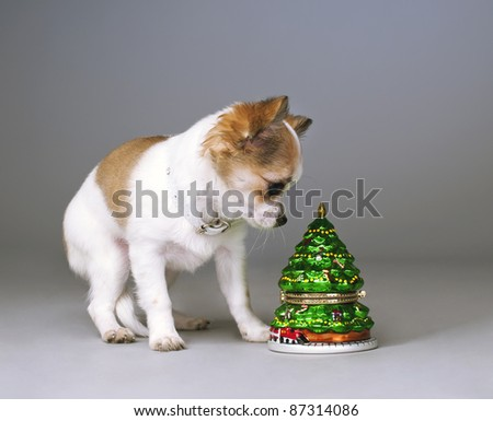 surprised chihuahua puppy with  christmas tree toy on gray background