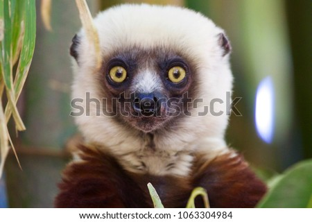 Surprised face of Lemur brown and withe. Photo taken in Lemur Park near Antananarivo, Madagascar