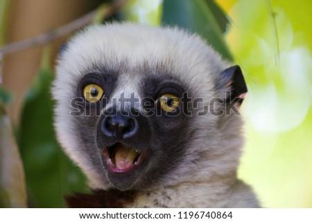Surprised face of white headed lemur. Photo taken in Lemur park near Antananarivo, Madagascar.