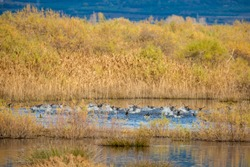 Surprised flock of ducks takes off in a spray of water, lake Vistonida near Porto Lagos, Xanthi region, Northern Greece. Amazing Nature in action, shallow selective focus of bird bodies