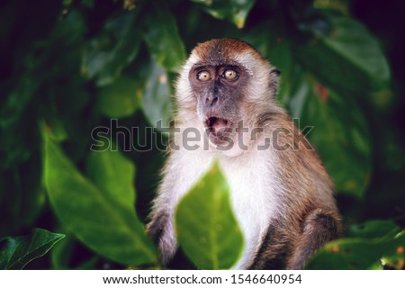 Photo of  Surprised funny monkey with opened mouth. Close up portrait on the green natural background. Thailand.