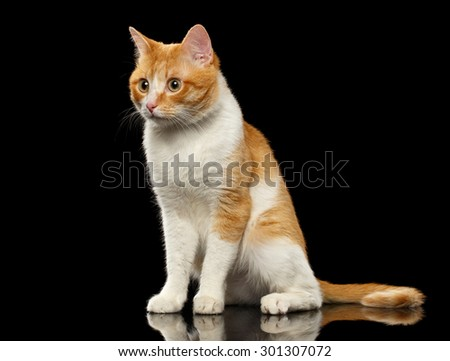 Surprised Ginger Cat Sits on Black Mirror background