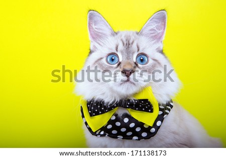 Surprised little cat with nice bow-tie is isolated on a yellow background.