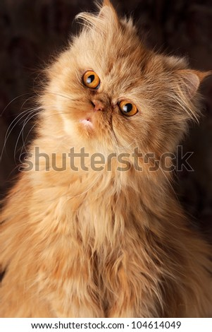 surprised Persian cat on a dark background