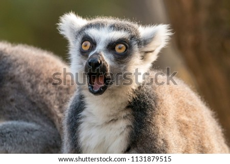 Surprised ring-tailed lemur or lemur catta with open mouth and eyes wide open Stock foto ©