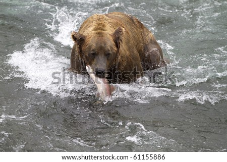 Surprised Salmon - A sockeye salmon become the surprise lunch for a grizzly bear at Katmai National Park, Alaska.