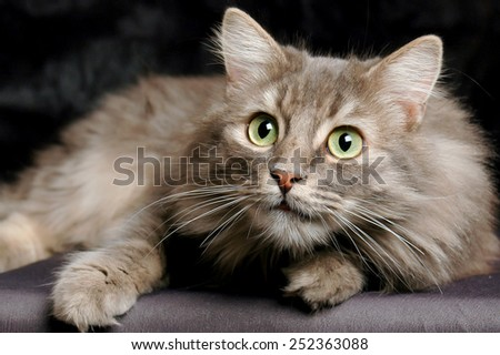 Surprised Siberian cat