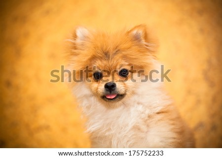 Surprised Spitz puppy dog looking into the camera. Small breeds. Photographing indoors.
