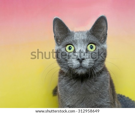 Surprised wide eyed grey short hair tabby cat with green eyes on a pink and yellow contrasting background