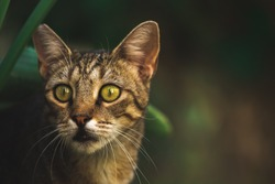 Surprised wild stray cat peeking out from the thicket