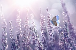 Surprisingly beautiful  colorful floral background. Heather flowers and butterfly in rays of summer sunlight in spring outdoors on nature macro, soft focus. Atmospheric photo, gentle artistic image