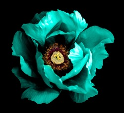 Surreal dark chrome cyan peony flower macro isolated on black