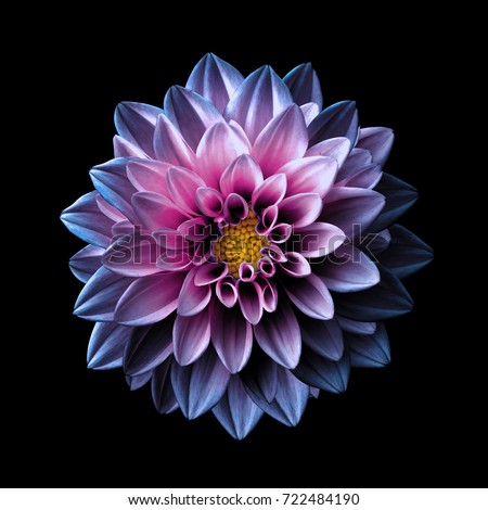 Free photos pink purple dahlia flower isolated on a black background surreal dark chrome pink and purple flower dahlia macro isolated on black 722484190 mightylinksfo