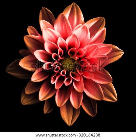 Stock Photo Surreal dark chrome red and orange flower dahlia macro isolated on black