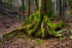 Surreal fairy tale fine art spooky fantasy color outdoor image of gigantic roots of an old tree, covered with moss, foliage, magic mysterious / fairy tale forest - fantastic realism in nature