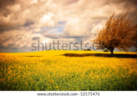 Surreal landscape of Canola rapeseed field with apple blossom tree